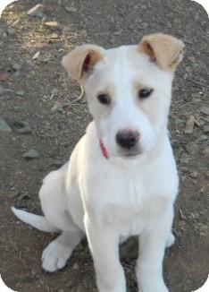 German Shepherd Dog/Labrador Retriever Mix Puppy for adoption in dewey, Arizona - Miranda