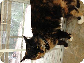 Calico Cat for adoption in Aiken, South Carolina - Peaches