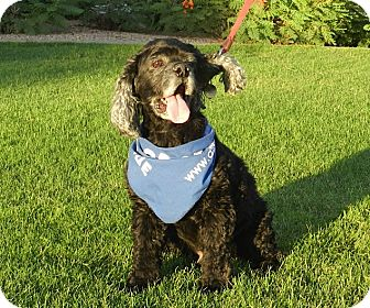 Cocker Spaniel Dog for adoption in Phoenix, Arizona - Mickey