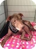 Doberman Pinscher/Shepherd (Unknown Type) Mix Dog for adoption in Valley Village, California - ERNEST