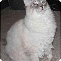 Adopt A Pet :: Bluz - Keizer, OR