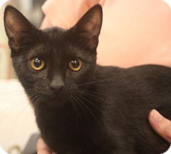 Domestic Shorthair Cat for adoption in Chino, California - Joe