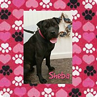 Adopt A Pet :: Sheba in TN - Mira Loma, CA