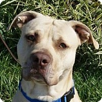 Bulldog/Boxer Mix Dog for adoption in Monroe, Michigan - Duke