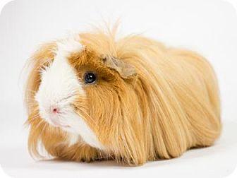 Guinea Pig for adoption in Kingston, Ontario - Peanut