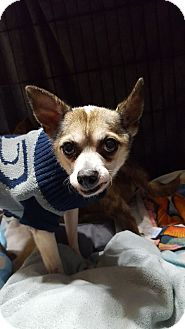 Chihuahua/Italian Greyhound Mix Dog for adoption in Lafayette, Indiana - Snoopy