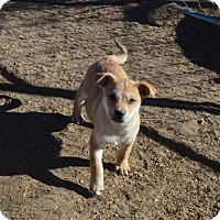 Shar Pei Mix Puppy for adoption in Peyton, Colorado - Dusty