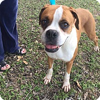Adopt A Pet :: Nutmeg - Austin, TX
