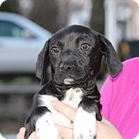 Adopt A Pet :: Cissy - Millersville, MD
