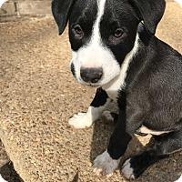 Adopt A Pet :: Ratchet - Spring City, PA