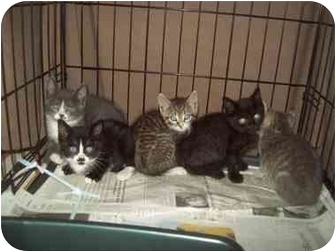 Domestic Shorthair Kitten for adoption in Little Neck, New York - WE WANT A HOME