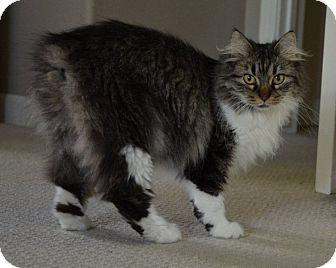 Scottish Fold Cat for adoption in Davis, California - Buttons