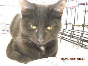 Domestic Shorthair Kitten for adoption in Riverside, Rhode Island - Michael