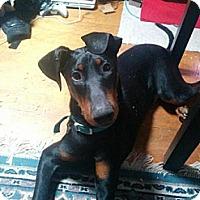 Adopt A Pet :: Dobie - Garwood, NJ