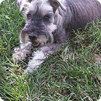 Adopt A Pet :: Doc - Springfield, MO