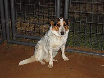 Corgi/Blue Heeler Mix Dog for adoption in Anton, Texas - Sassafrass