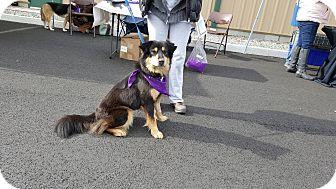 Australian Shepherd/Chow Chow Mix Dog for adoption in West Warwick, Rhode Island - Cherie