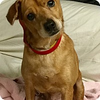Australian Cattle Dog Mix Dog for adoption in Phoenix, Arizona - Fred