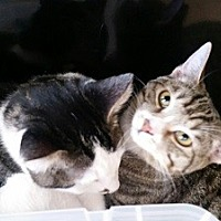 Adopt A Pet :: Pepper and Buttons - Woodland Hills, CA