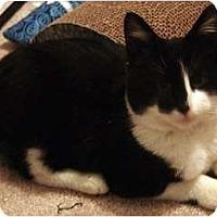 Adopt A Pet :: Gizmo - Alexandria, VA