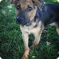 Adopt A Pet :: Bowser - Broomfield, CO