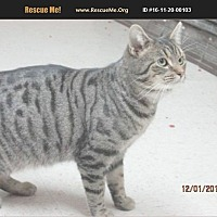 Bengal Cat for adoption in Madison, Tennessee - Bowen - special needs