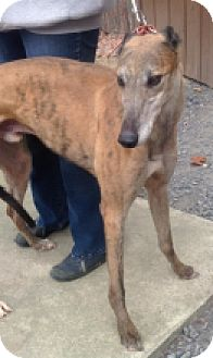 Greyhound Dog for adoption in Gerrardstown, West Virginia - Deandre Daniels