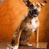 Labrador Retriever/German Shepherd Dog Mix Dog for adoption in Pittsburg, Kansas - Tania