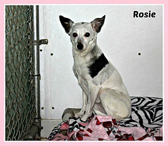 Rat Terrier/Chihuahua Mix Dog for adoption in New Richmond,, Wisconsin - Rosie