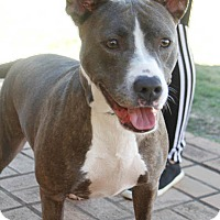 American Staffordshire Terrier Mix Dog for adoption in Washington, D.C. - Blue