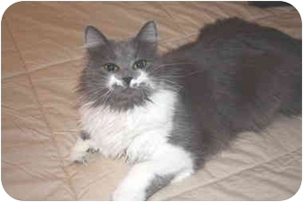 Domestic Longhair Cat for adoption in Mesa, Arizona - Hannah