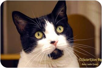 Domestic Shorthair Cat for adoption in Encinitas, California - Darwin