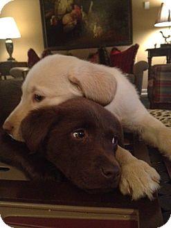 Labrador Retriever Mix Puppy for adoption in Foster, Rhode Island - Holly Pup