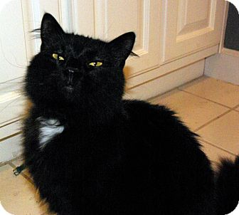 Domestic Longhair Cat for adoption in Mobile, Alabama - Scarlet