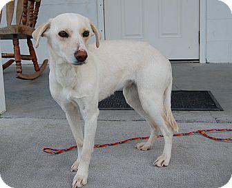 Labrador Retriever/Terrier (Unknown Type, Medium) Mix Dog for adoption in Richmond, Virginia - Ava