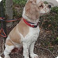 Adopt A Pet :: Sugar - Sugarland, TX