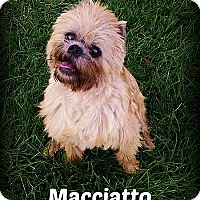 Brussels Griffon Dog for adoption in Denver, Colorado - MACCIATO - Adoption Pending