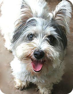Terrier (Unknown Type, Small) Mix Dog for adoption in Woonsocket, Rhode Island - Billy