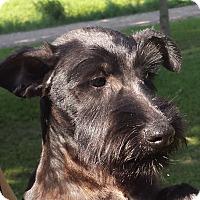 Adopt A Pet :: Iggy AD 12-10-16 - Preston, CT