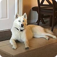 Adopt A Pet :: Sookie - Clearwater, FL
