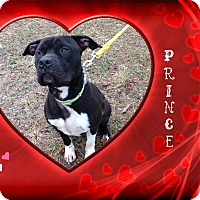 American Pit Bull Terrier Mix Dog for adoption in Buffalo, Indiana - Prince