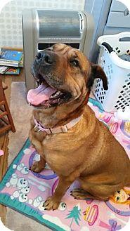 Shar Pei/Retriever (Unknown Type) Mix Dog for adoption in Akron, Ohio - Hyacinth