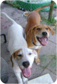Hound (Unknown Type) Mix Dog for adoption in Williston, Florida - Wall-E & Rose-E