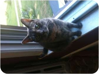 Domestic Shorthair Cat for adoption in Oxford, Connecticut - Maya (declawed)