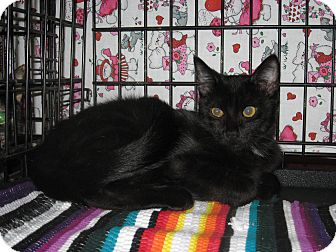 Domestic Shorthair Cat for adoption in Houston, Texas - Armani