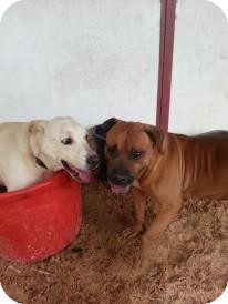 Bulldog Mix Dog for adoption in Eustis, Florida - Boots