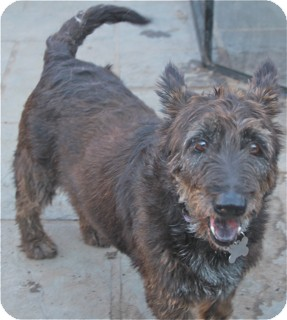 Scottie, Scottish Terrier/Basset Hound Mix Dog for adoption in Norwalk, Connecticut - Jenny - meet her