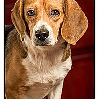 Adopt A Pet :: Mr. Bates - Owensboro, KY