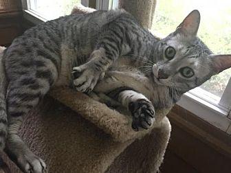 Egyptian Mau Cat for adoption in Atlanta, Georgia - Sparky