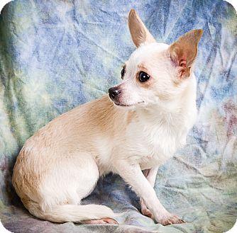 Chihuahua/Maltese Mix Puppy for adoption in Anna, Illinois - PORTIA